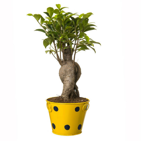 Indoor Plant Grafted Ficus 4 Year Old Bonsai In Yellow Pot - Giftingnation - 1