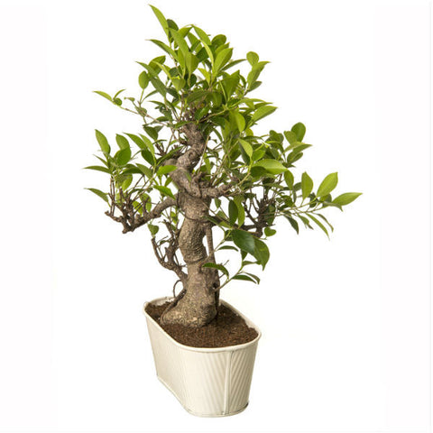 Indoor Plant 6 Year Old S Shape Bonsai In White Pot - Giftingnation - 2
