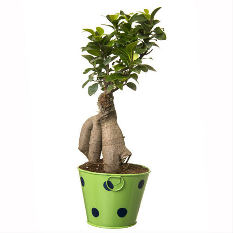 Indoor Plant Grafted Ficus 4 Year Old Bonsai In Green Pot - Giftingnation - 1