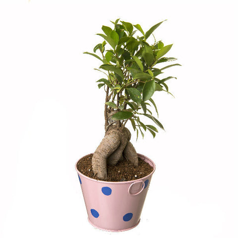 Buy Bonsai Plants Online