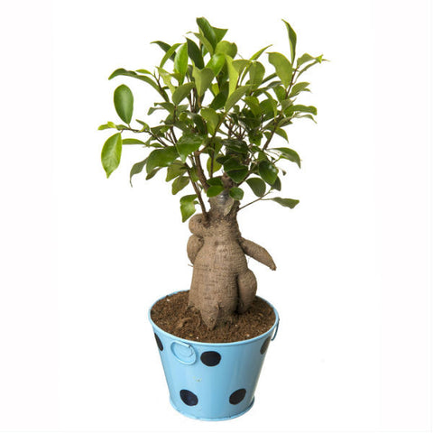 Indoor Plant Grafted Ficus 4 Year Old Bonsai In Blue Pot - Giftingnation - 1