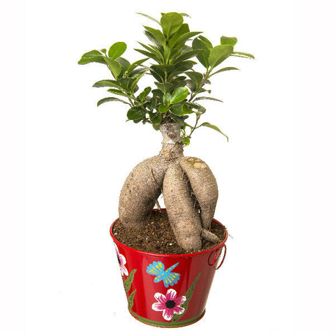 Indoor Plant Grafted Ficus 4 Year Old Bonsai In Red Pot - Giftingnation - 1