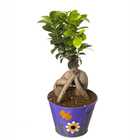 Indoor Plant Grafted Ficus 4 Year Old Bonsai In Purple Pot - Giftingnation - 1