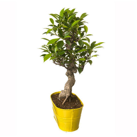 Indoor Plant 6 Year Old S Shape Bonsai In Yellow Pot - Giftingnation - 2