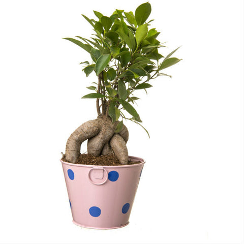 Ficus Bonsai 4 Year Old Plant in Light Pink Pot - Giftingnation - 2