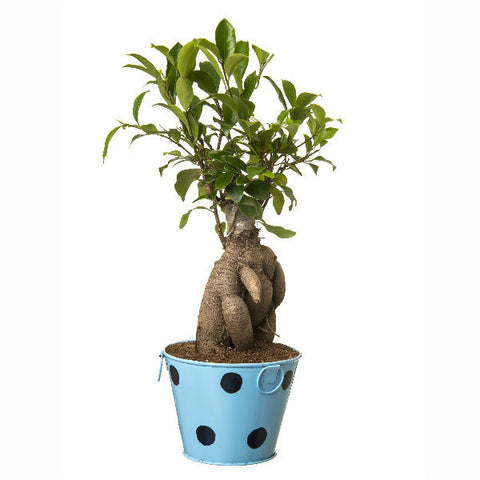 Indoor Plant Grafted Ficus 4 Year Old Bonsai In Blue Pot - Giftingnation - 2