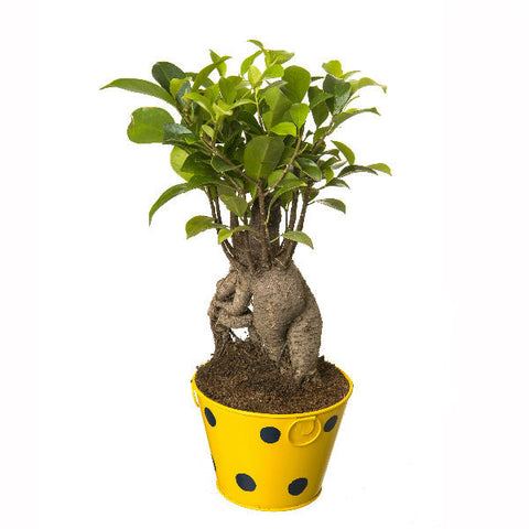Indoor Plant Grafted Ficus 4 Year Old Bonsai In Yellow Pot - Giftingnation - 2
