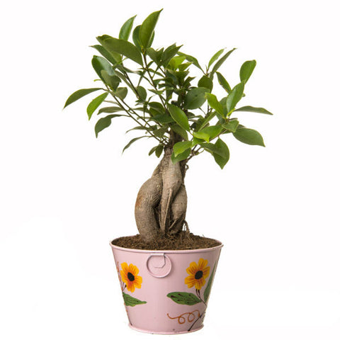 Indoor Plant Grafted Ficus 4 Year Old Bonsai In Pink Pot - Giftingnation - 2