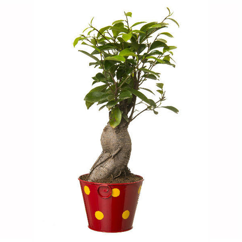 Indoor Plant Grafted Ficus 4 Year Old Bonsai In Red Pot - Giftingnation - 2