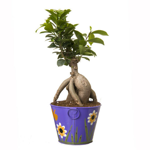 Indoor Plant Grafted Ficus 4 Year Old Bonsai In Purple Pot - Giftingnation - 2