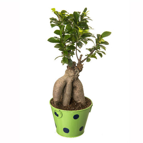 Indoor Plant Grafted Ficus 4 Year Old Bonsai In Green Pot - Giftingnation - 2