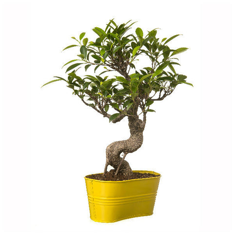 Indoor Plant 6 Year Old S Shape Bonsai In Yellow Pot - Giftingnation - 1