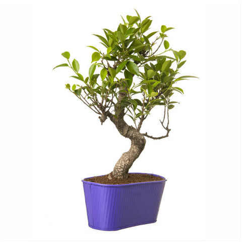 Indoor Plant 6 Year Old S Shape Bonsai In Purple Pot - Giftingnation - 1
