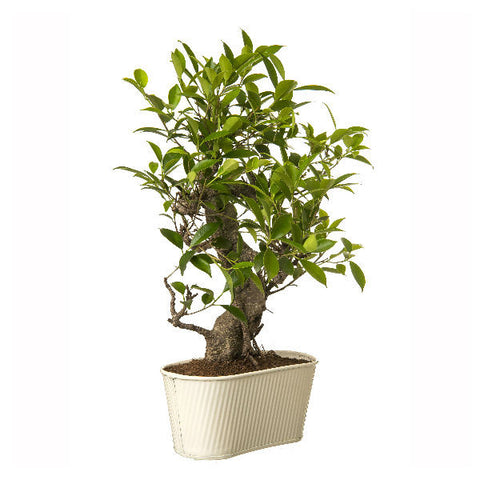 Indoor Plant 6 Year Old S Shape Bonsai In White Pot - Giftingnation - 1
