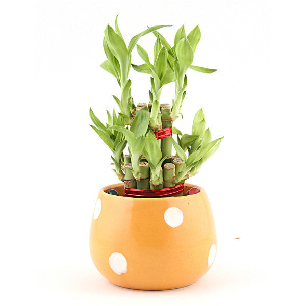 Lucky Bamboo 2 Layer Plant in Round Yellow Polka Dot Ceramic Pot - Giftingnation