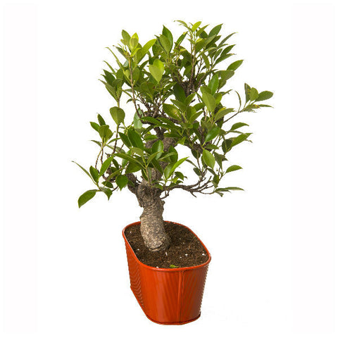 6 Year Old S Shape Bonsai In Orange Pot - Giftingnation - 1