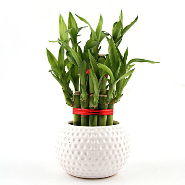 White Color Splash Lucky Bamboo Plant - Giftingnation