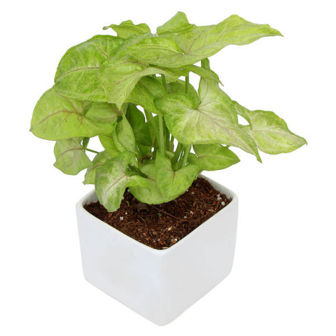 Indoor Plant Syngonium Green in White Ceramic Pot - Giftingnation - 1