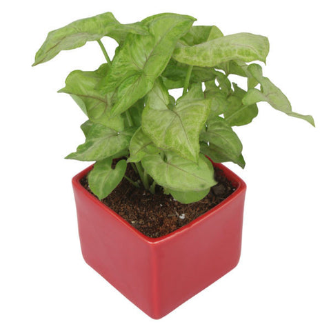 Indoor Plant Syngonium Green in Red Ceramic Pot - Giftingnation - 1