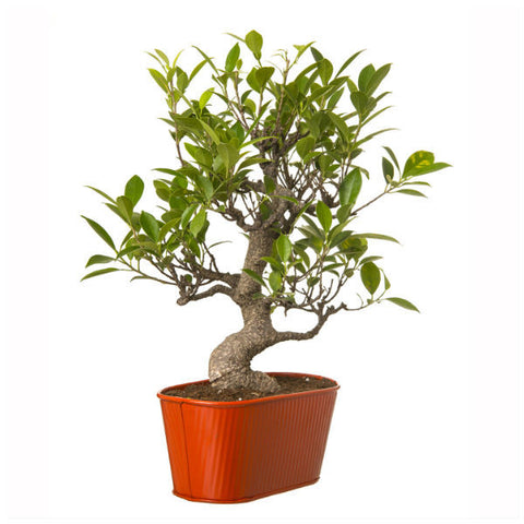 6 Year Old S Shape Bonsai In Orange Pot - Giftingnation - 2