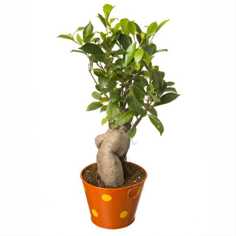 Grafted Ficus 4 Year Old Bonsai In Orange Pot - Giftingnation - 1