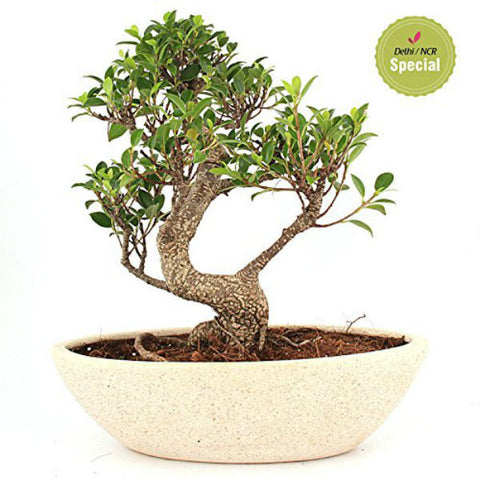 5 Year S Shape Ficus Bonsai Plant - Giftingnation