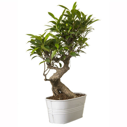 6 Year Old S Shape Bonsai In White Pot - Giftingnation - 1