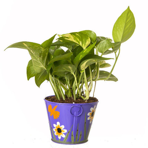 Indoor Hybrid Money Plant in Round Purple Metal Pot - Giftingnation - 1