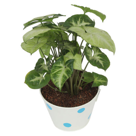 Indoor Plant Hybrid Green Syngonium in Round White Metal Pot - Giftingnation - 2