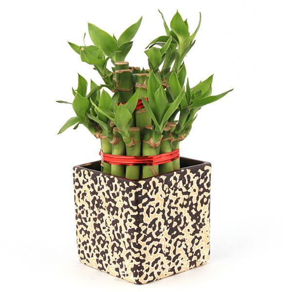 Lucky Bamboo 2 Layer Plant in Black Rain Drop Ceramic Pot - Giftingnation
