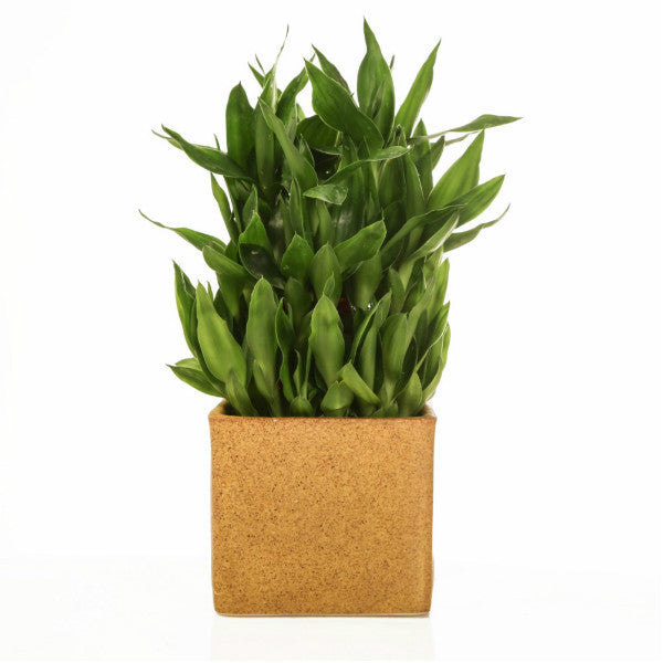 Lucky Bamboo 3 layer Plant with Marble Finish ceramic Pot - Giftingnation