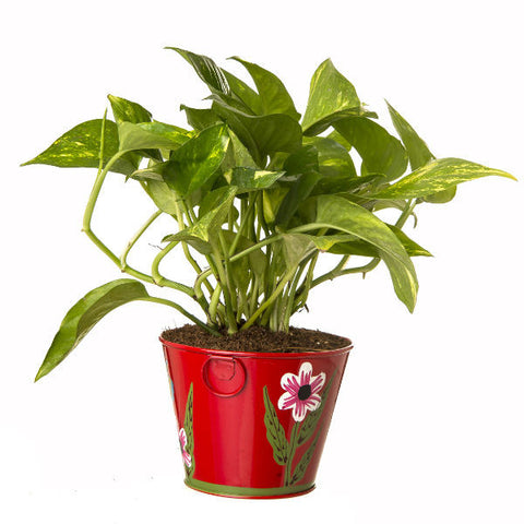 Indoor Hybrid Money Plant in Round Red Metal Pot - Giftingnation - 2