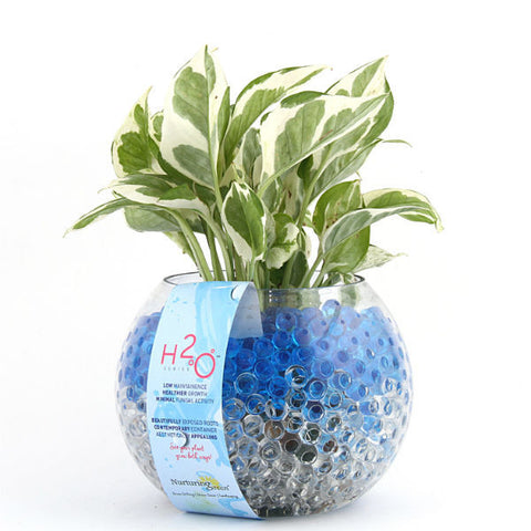 Sea Salt White Pothos Plant - H2O Series - Giftingnation