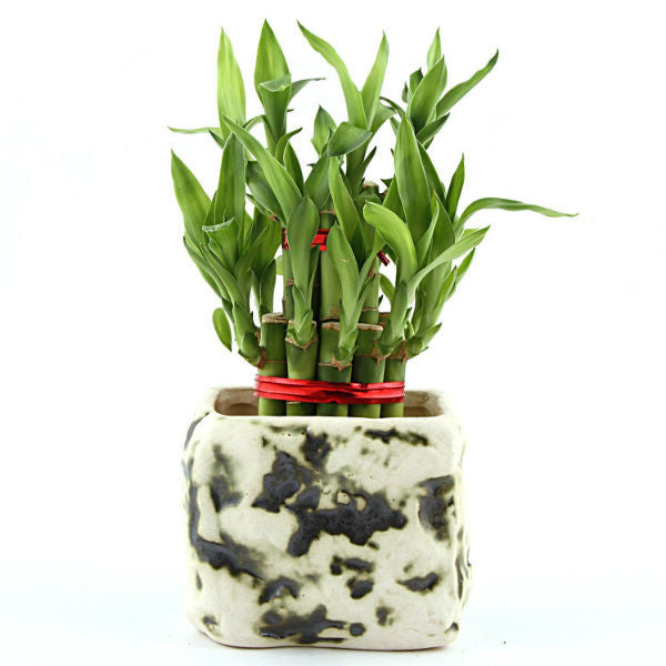 Stone Green Lucky Bamboo Plant - Giftingnation