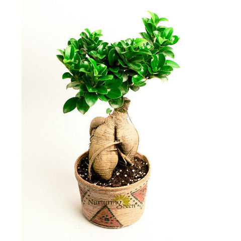 Grafted Ficus Bonsai Tree 3 Year Old with Jute Plant - Giftingnation