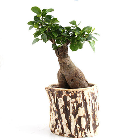 3 Year Grafted Ficus Bonsai Plant - Giftingnation