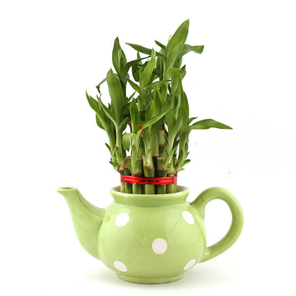 Lucky Bamboo 2 Layer Plant with Green Polka Kettle - Giftingnation