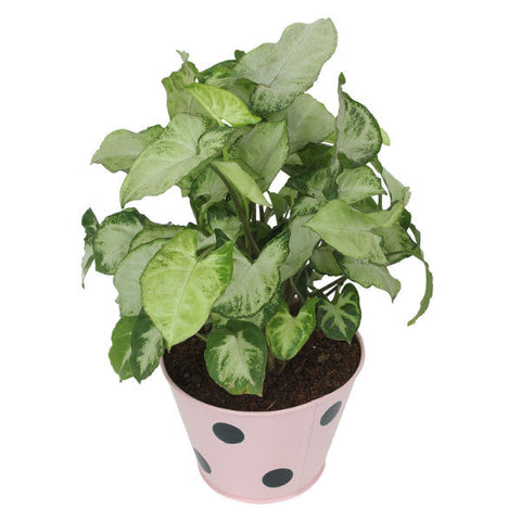 Indoor Plant Hybrid Green Syngonium in Round Light Pink Metal Pot - Giftingnation - 1
