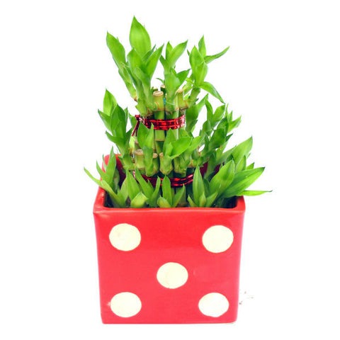 3 Layer Bamboo Plant in Red Polka Square Ceramic Pot - Giftingnation