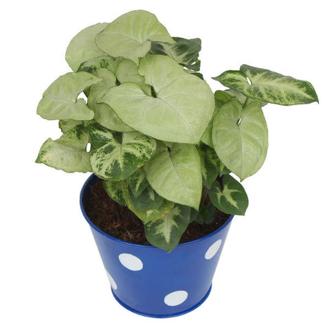 Indoor Plant Hybrid Green Syngonium in Round Blue Metal Pot - Giftingnation - 2