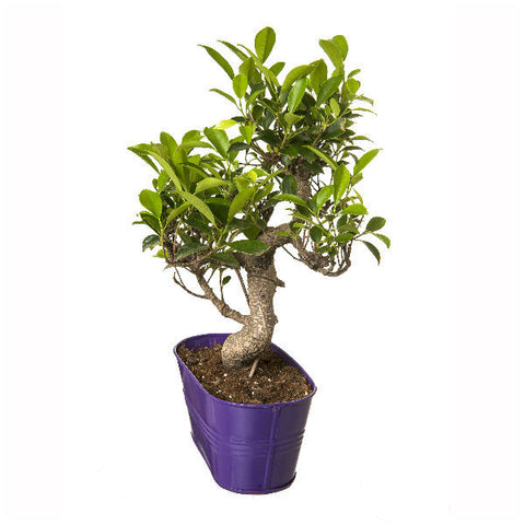 6 Year Old S Shape Bonsai In Purple Pot - Giftingnation - 1