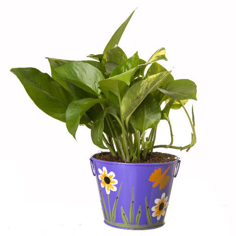 Indoor Hybrid Money Plant in Round Purple Metal Pot - Giftingnation - 2