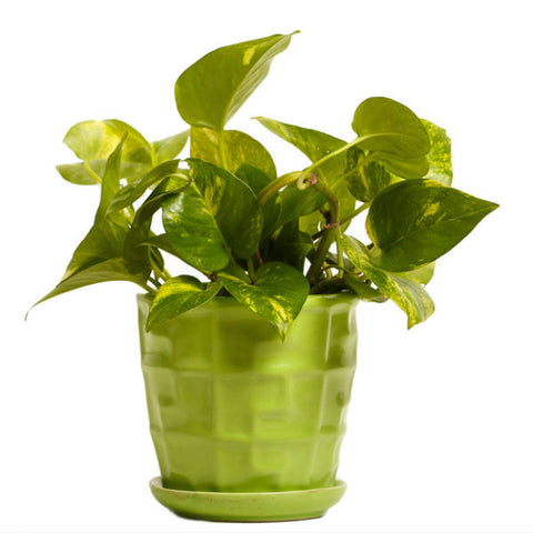 Glossy Green Money Plant - Giftingnation