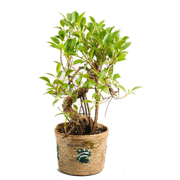 S Shape Ficus Bonsai Tree 5 Year Old in Jute Pot - Giftingnation