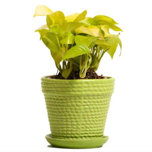 Sizzling Green Golden Pothos Plant - Giftingnation
