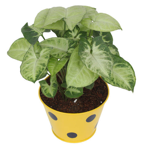 Indoor Plant Hybrid Green Syngonium in Round Yellow Metal Pot - Giftingnation - 2