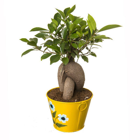 Grafted Ficus 4 Year Old Bonsai In Yellow Pot - Giftingnation - 1