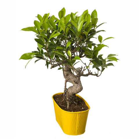 6 Year Old S Shape Bonsai In Yellow Pot - Giftingnation - 1