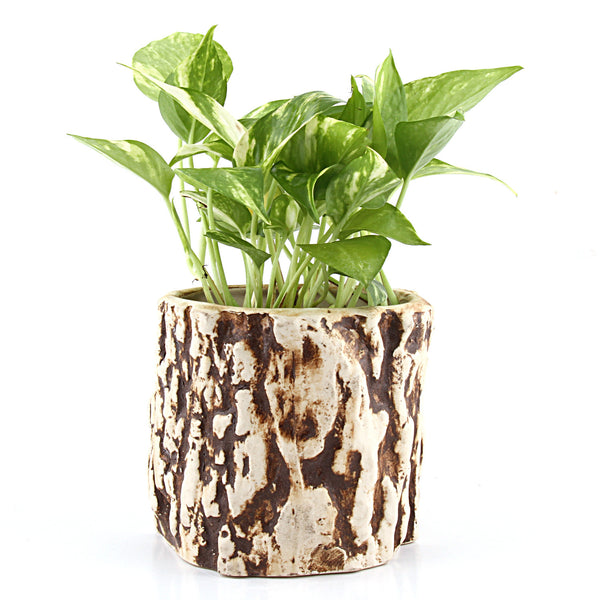 Stone Money Plant - Giftingnation
