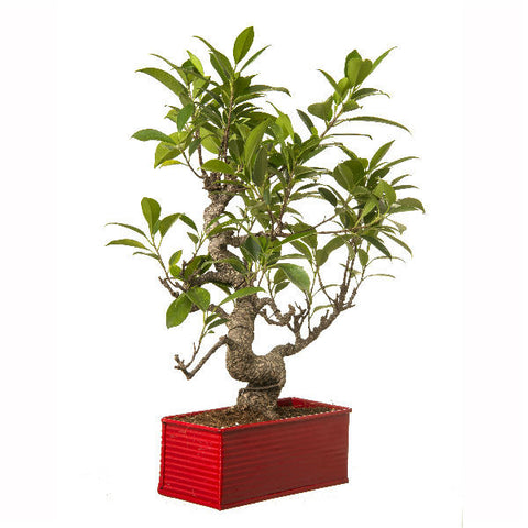 6 Year Old S Shape Bonsai In Red Pot - Giftingnation - 2